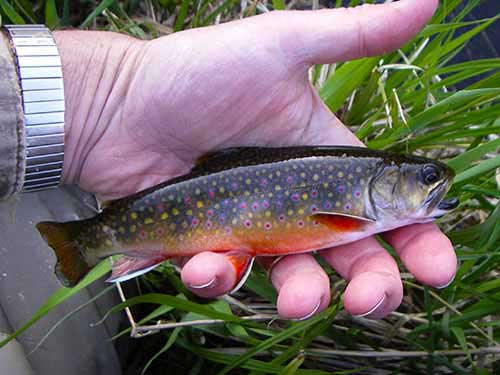 Fly fishing brook trout wisconsin